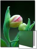 USA  Pennsylvania Close Up of Flower Bud Opening
