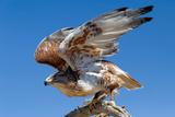Ferruginous Hawk  Buteo Regalis