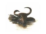 Water Buffalo  2015