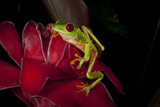 Red Eyed Leaf Frog on Red Torch Ginger Rainmaker Reserve  Costa Rica