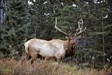 A Bull Elk Grazes  Rocky Mts  Jasper National Park  Canada