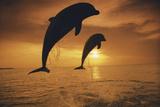 Caribbean  Bottlenose Dolphin  Tursiops Truncatus