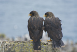 Falkland Islands West Point Island Striated Caracara Pair