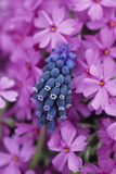USA  Pennsylvania Grape Hyacinth and Phlox Flowers in Garden