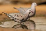 Hidalgo County  Texas Common Ground Dove Drinking