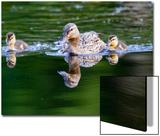 Wa  Mercer Slough  Wood Duck Female and Ducklings  Aix Sponsa