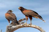 Harris Hawks  Parabuteo Unicinctus