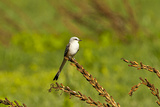 Minnesota  Mendota Heights  Scissor Tailed Flycatcher Perched