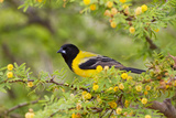 Santa Clara Ranch  Starr County  Texas Audubons Oriole Perched