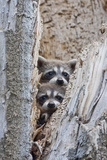 Wyoming  Lincoln County  Raccoon Young Looking Out Cavity in Snag