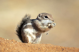 Harriss Antelope Squirrel Is a Rodent Found in Arizona and New Mexico