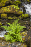 Olympic National Park  Lake Quinault Washington Sword Fern at Bunch Creek
