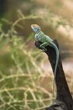 Territorial Eastern Collared Lizard. Sonora Desert Museum, Arizona Papier Photo par Thomas Wiewandt