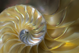 Interior of a Pearly Nautilus Shell, Native to Seas of Indo Pacific Papier Photo par Thomas Wiewandt