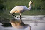 Whooping Crane Hunting in a Pond  Baraboo  Wisconsin