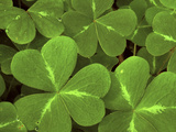 USA  California  Muir Woods Close Up of Clover