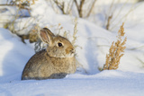 USA  Wyoming  Nuttalls Cottontail Rabbit Sitting in Snow