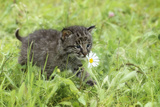 Minnesota  Sandstone  Bobcat Kitten in Spring Grasses with Daisy
