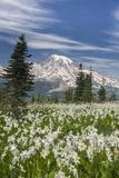 Washington  Mount Rainier National Park Avalanche Lilies and Mount Rainier
