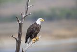 Wyoming  Sublette County  Bald Eagle Roosting on Snag