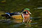 Wood Duck  Crystal Springs Rhododendron Garden  Portland  Oregon
