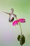 Jeff Davis County  Texas Black Chinned Hummingbird Feeding at Zinnia