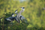Florida  Venice  Great Blue Herons and Juveniles Feeding Time at Nest