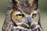 Kendall County  Texas Great Horned Owl Head Shot Captive Animal