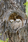 Wyoming  Grand Teton National Park  Great Horned Owlets in Nest Cavity
