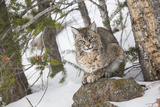 USA  Wyoming  Yellowstone National Park  Bobcat Resting under Conifer Tree