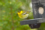 Minnesota  Mendota Heights  Cape May Warbler Perched on Bird Feeder