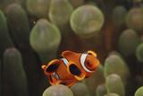 Indo Ocean  Close Up View of Juvenile Clown Anemonefish