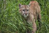 Minnesota  Sandstone  Minnesota Connection Cougar on the Prowl