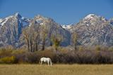 White Horse and Teton Mts  Moose Head Ranch  Grand Teton National Park  Wyoming