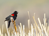 USA  Wyoming  Male Red Winged Blackbird Singing on Cattail Stalk