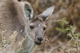 Western Australia  Perth  Yanchep National Park Western Gray Kangaroo Close Up