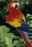 Scarlet Macaw Sarasota Jungle Gardens  Sarasota  Florida