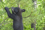 Minnesota  Minnesota Wildlife Connection Black Bear Cub in a Pine