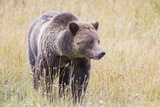 USA  Wyoming  Yellowstone National Park  Grizzly Bear Standing in Autumn Grasses