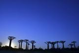 Madagascar  Morondava  Baobab Alley  Adansonia Grandidieri at Sunset
