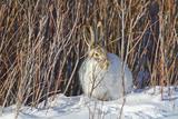USA  Wyoming  White Tailed Jackrabbit Sitting on Snow in Willows