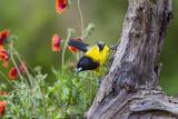 Santa Clara Ranch  Starr County  Texas Audubons Oriole