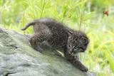 Minnesota  Sandstone  Bobcat Kitten on Top of Log in Spring Grasses