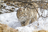 Wyoming  Sublette County  Bobcat in Winter