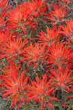Wyoming  Lincoln County  Desert Paintbrush Close Up of Flowers