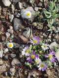 Organ Pipe Cactus Nm  Woolly Daisy Growing Out of a Riverbed