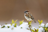 Wichita County  Texas House Sparrow after Winter Snow