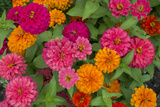 Michigan  Dearborn  Greenfield Village Close Up of Zinnia Flowers