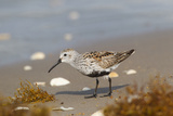 Cameron County  Texas Dunlin Feeding on Beach During Spring Migration