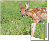Minnesota  Sandstone  White Tailed Deer Fawn Eating Daisys